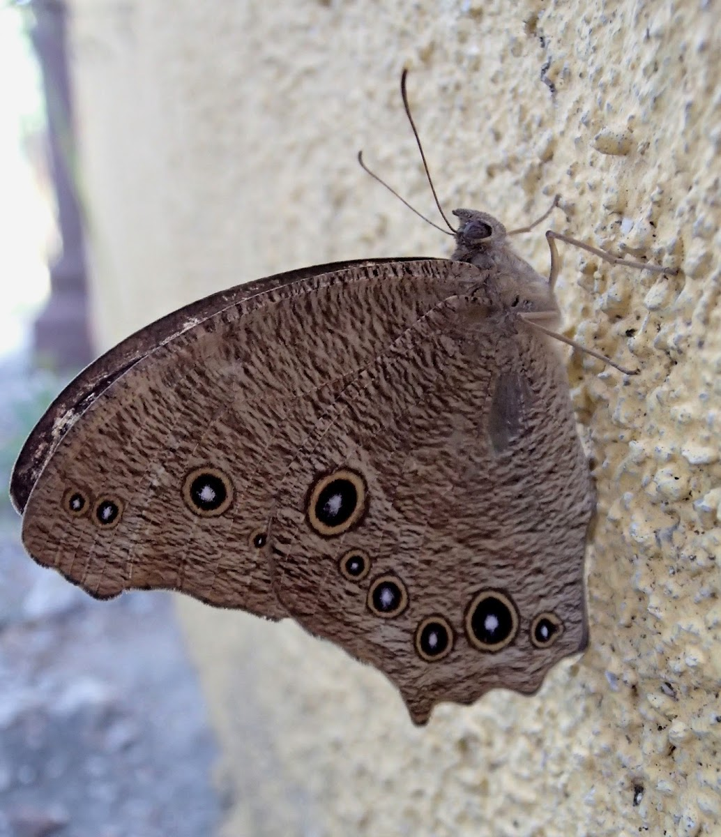 Common Evening Brown (Wet-Season Form)