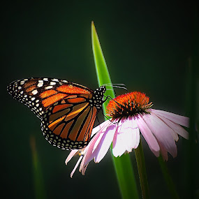 Monarch on Coneflower by Liz Crono - Animals Insects & Spiders ( butterfly, monarch, flowers )