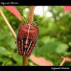 Lychee Bug Nymph