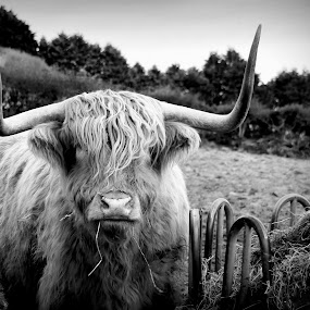 highland cow by Marie Leather - Animals Other (  )