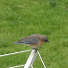 Eastern Bluebird [female]