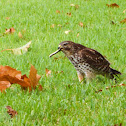 Broadwinged Hawk
