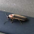 Lightening bug or firefly