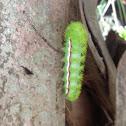 Io caterpillar