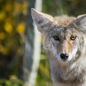 Y Lee Coyote by E.g. Orren - Animals Other Mammals ( coyote, alberta, elk island, wildlife, photo by ego,  )