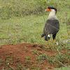 Caracara - carancho norteño - Northern Crested Carcara