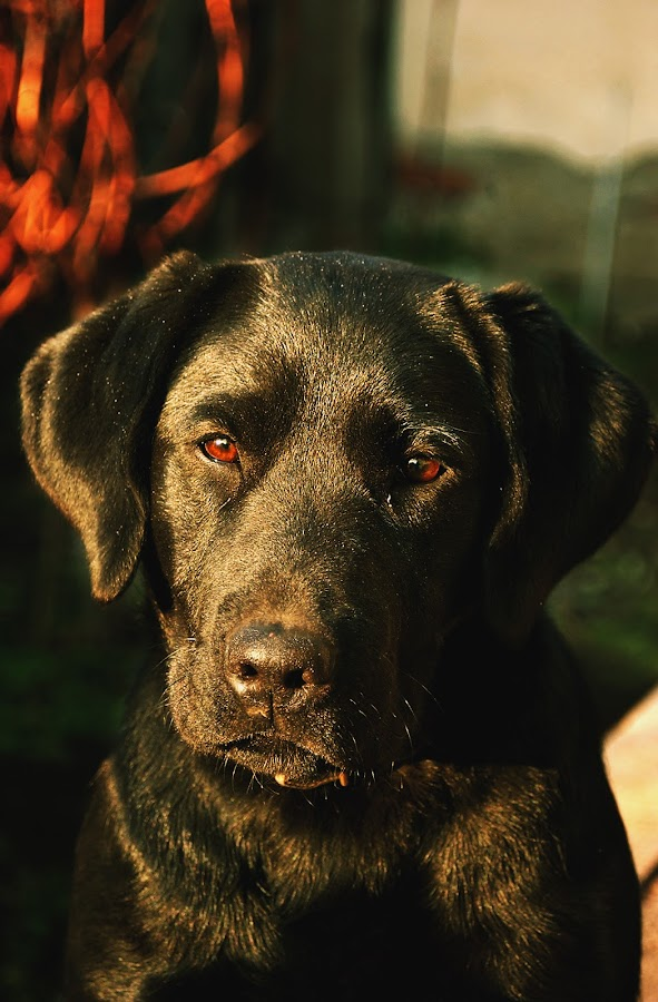 Black Labrador Dona by Milan Milosevic ヅ - Animals - Dogs Portraits ( look, breed, puppy, dog, cute, pretty, black, portrait, black labrador )