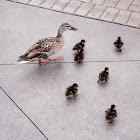 Ducks + ducklings