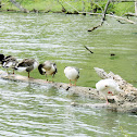 Canada geese and domestic goose