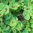 red-spotted clover