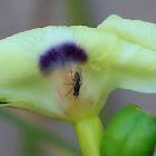 Leaf-miner fly