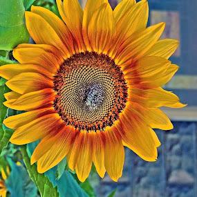 painted sunflower by Karen Hayes-higley - Digital Art Things