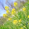 yellow rocketcress