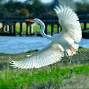 Great White Egret or Heron