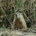 Groundhog Woodchuck