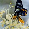 Four o'clock moth – Dysphania fenestrata