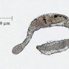 Microscopic Bristle Worm