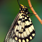 Glasswing or Small Greasy Butterfly