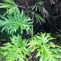 Philodendron, Selloum