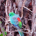 Red-rumped parrot or Grass parrot