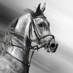 Black White Horse Wallpaper HD