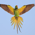 Rose-ringed Parakeet