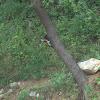 Lesser Golden-back Woodpecker