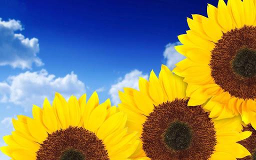 Sunflower Live Wallpape