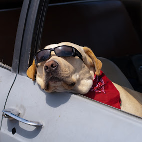 Chillin' by Tim Davies - Animals - Dogs Portraits ( relax, chill, dog, sunglasses, lab,  )
