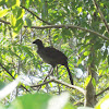 Speckled Chacalaca