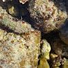 Hermit Crab / Rak samac