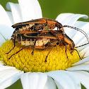 Goldenrod Soldier Beetles (mating)
