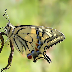 swallowtail by Ld Turizem - Animals Insects & Spiders