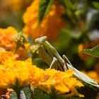 California Mantis