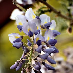 End of the Season by Chris Giese - Flowers Flowers in the Wild ( vines, blooms, plants, wisteria, flowers, spring )