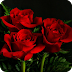 Amour Rose Live Wallpaper