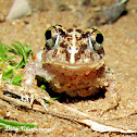 Indian burrowing frog