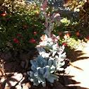 Echeveria topsy turvy