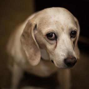 Battle of the Beagles #2 by Stuart Partridge - Animals - Dogs Portraits ( hounds, dogs, d610, beagles, nikon )