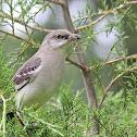Northern mockingbird, spider
