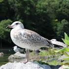 Herring Gull fledgling