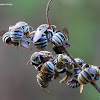 Roosting male bees