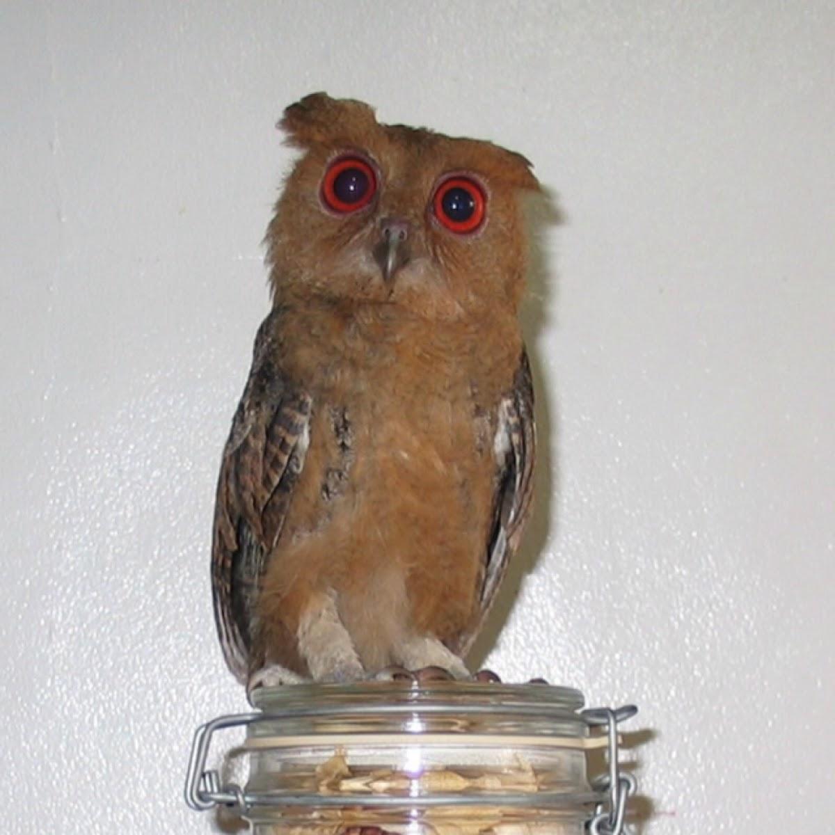 Philippine Scops Owl