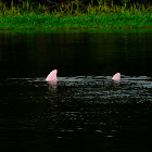 Pink Freshwater dolphin