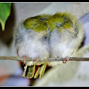 Common Tailor bird- Roosting
