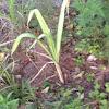 Growing sugar cane