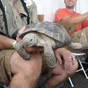 Sonoran Desert Tortoise