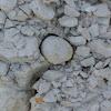 Fossil heart urchins