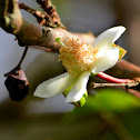 Flor de Cas