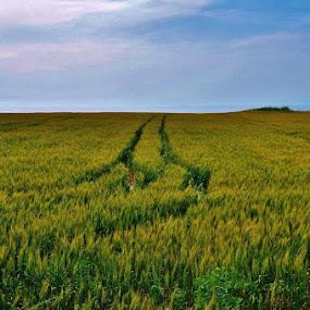 Wheat by Barkın Atıl - Landscapes Prairies, Meadows & Fields
